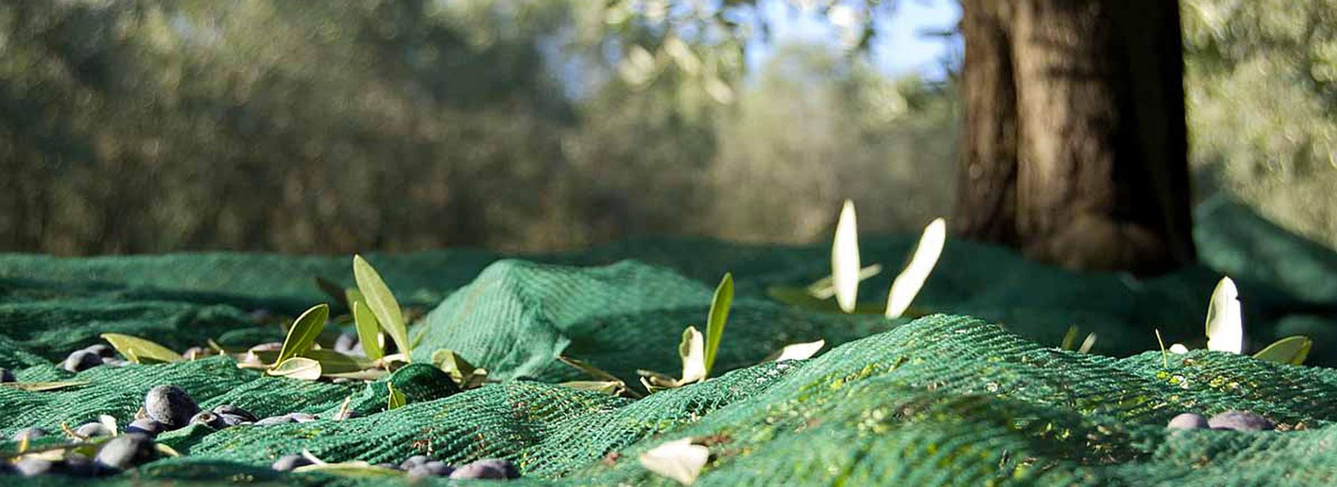 L'olivicoltura di Tenuta Castellana: agricoltura sociale e sostenibile